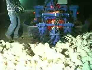 Nightmarish industrial chicken catcher